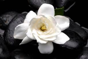 Gardenia Origin Gardenia Flower Meaning Flower Meaning