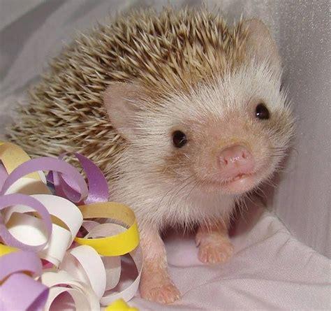 cute baby hedgehog smiling too cute baby hedgehog the innocents pinterest