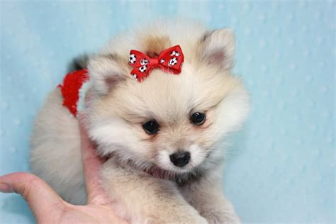teacup pomeranian teddy teddy teacup pomeranian puppy has found a loving home with kerri from