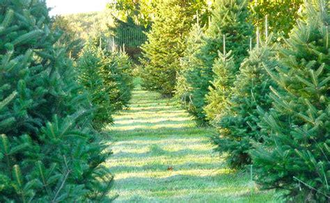 christmas tree farm how to tree farms central nj