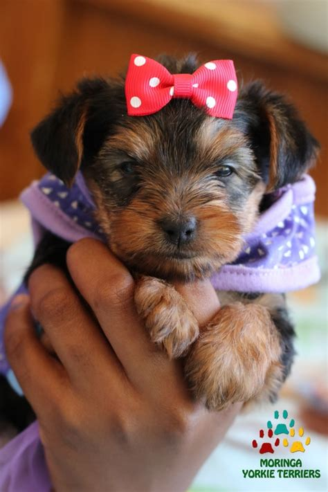 teacup yorkie for sale in riverside ca teacup yorkie riverside ca breeds picture