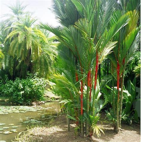 Harga Bibit Bunga Di Indonesia harga jual bibit tanaman pohon pinang merah di tanjung