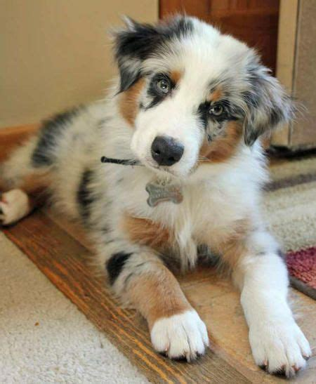 australian shepherd puppies ohio 25 best ideas about australian shepherd puppies on aussie puppies blue