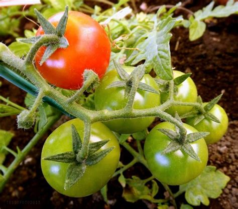 pianta pomodoro in vaso pomodorini in vaso coltivazione