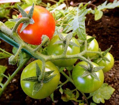 pomodorini in vaso pomodorini in vaso coltivazione