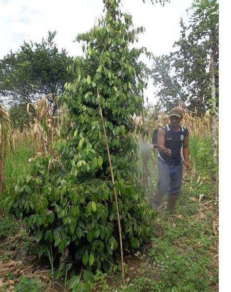 Pupuk Untuk Bunga Lada aplikasi pupuk organik mmc pada lada agrokompleks mmc