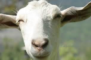 Saanen male goats buy goat milk saanen goats for sale live goat