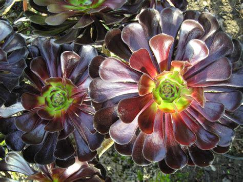 aeonium arboreum zwartkop black rose world of succulents