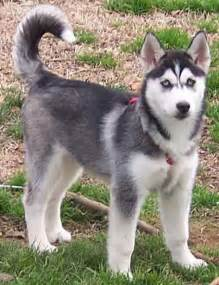 husky puppy price best 25 siberian husky puppies price ideas on husky puppies price pomsky