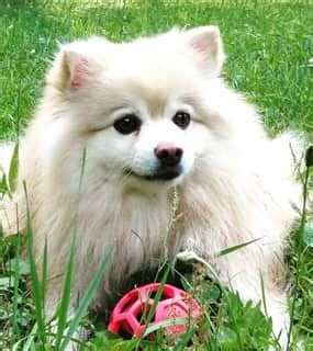 my pomeranian has fleas how to help a pomeranian with itching issues