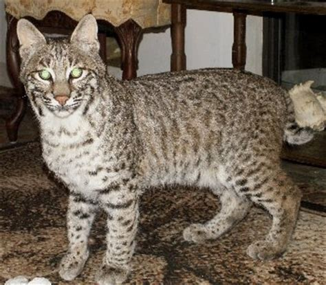 bob s house for dogs half bobcat kittens for sale breeds picture