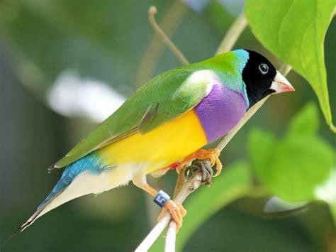 birds of the world estrildid finches