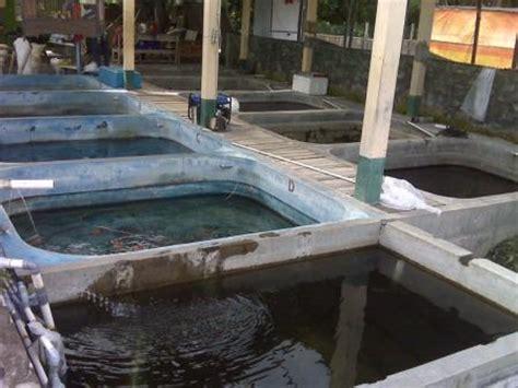 Harga Terpal Kolam Yogyakarta indukan dan bibit ikan koi murah budidaya koi