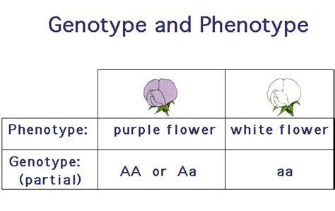 what is phenotype and genotype www pixshark com images