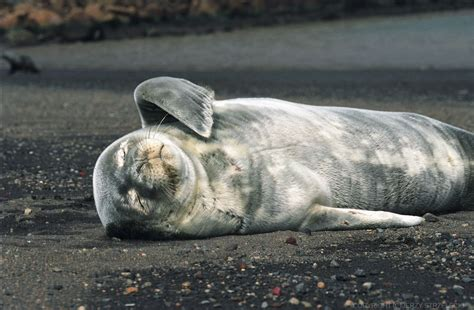 puppy seal file antarctic weddell seal puppy js 44 jpg wikimedia