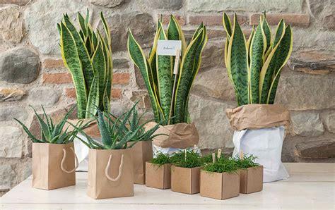 pianta grassa appartamento piante grasse piante da appartamento zubini