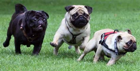 are pugs hypoallergenic dogs small breeds list of all small dogs small hypoallergenic breeds