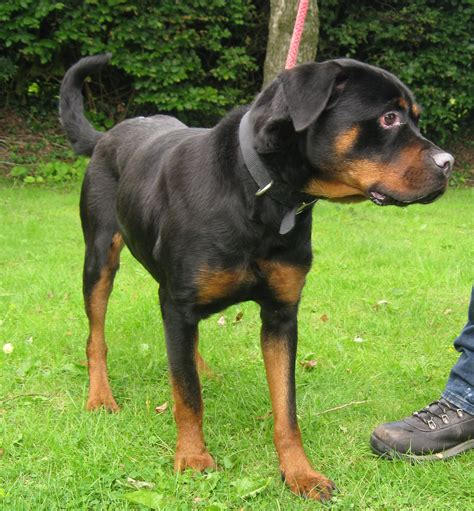 rottweiler losing hair 2 3 year rottweiler for adoption