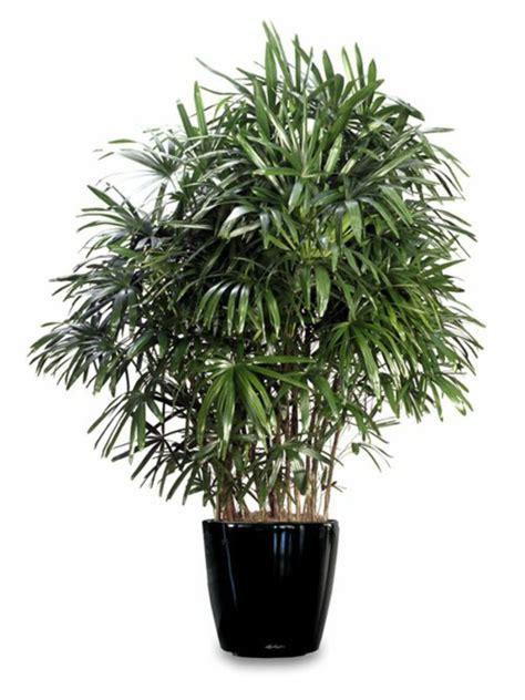 palmenarten zimmerpflanzen palmenarten zimmerpflanzen rhapis excelsa geh 246 rt zu den