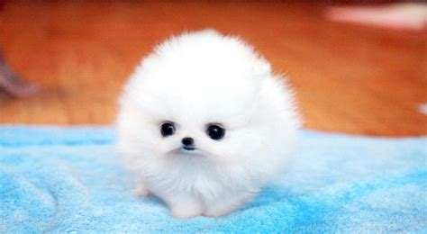 teacup pomeranian teacup pomeranian on