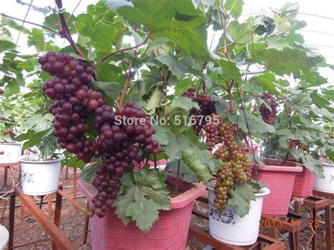 frutas de arvores bonsai pesquisa google fruit plants