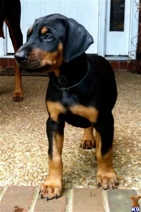 doberman puppies for sale in ta black doberman puppy www pixshark images galleries with a bite