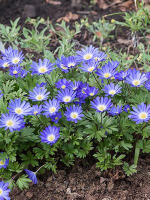 grecian windflowers anemone blanda blue shades