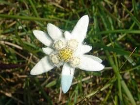November Flower beautiful edelweiss flowers