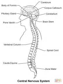 kaplan anatomy coloring book autonomic nervous system central nervous system worksheet abitlikethis