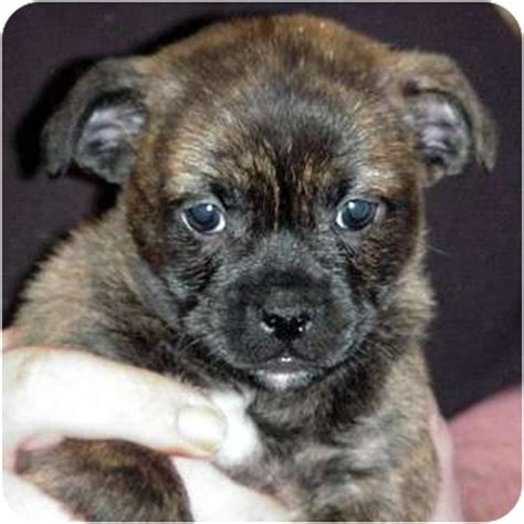pug rescue vermont trese adopted puppy 6600 brattleboro vt chihuahua pug mix
