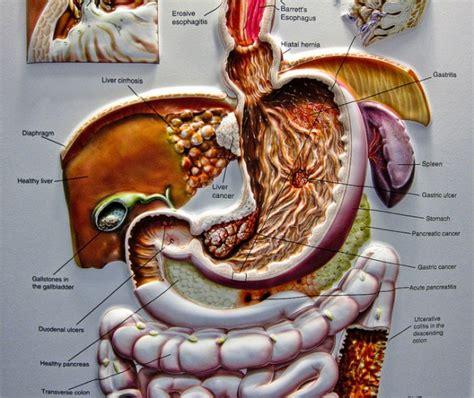 organi interni corpo umano lato destro milza infiammata