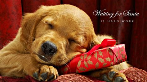 waiting  santa dogs animals background wallpapers  desktop nexus image