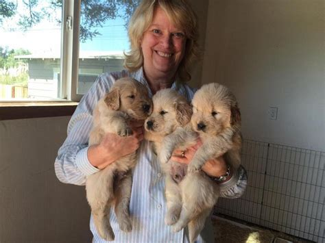 puppies for sale in san jose golden retriever puppy for sale san jose dogs our friends photo