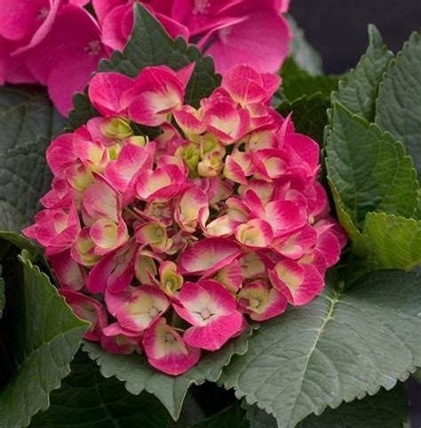Bouquet Wisuda Size L Redfushia 97 best images about gardens hydrangeas specifically on white flowers shrubs and