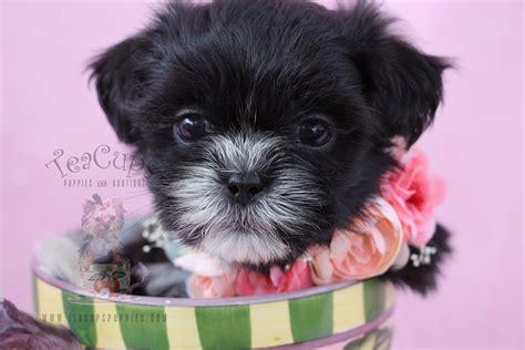 shih tzu puppies florida shih tzu puppies for sale at teacups puppies south florida teacups puppies boutique