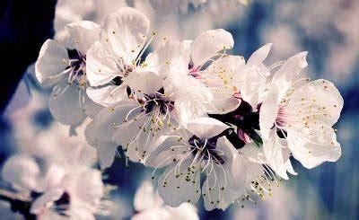 alberi fioriscono in primavera alberi fioriscono in primavera wdonna it