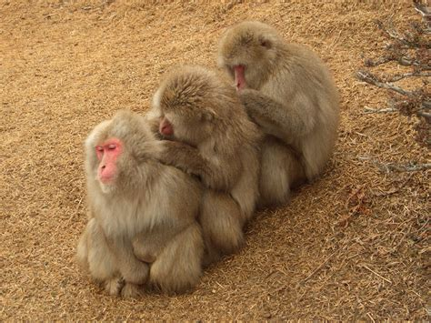 Japanese Snow Monkeys. (Japanese Macaque)   pgcps mess ...
