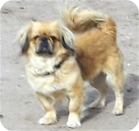 new mexico pug rescue bugsy adopted 29 pie town nm pug pekingese mix
