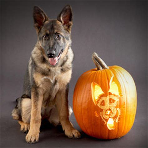 puppy pumpkin carving pumpkin carving gsd german shepherd forums