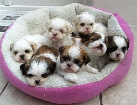 shih tzu baby 7 stunning baby shih tzu for sale orpington kent pets4homes