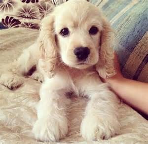 fluffy puppys best 25 fluffy puppies ideas on puppies adorable puppies and