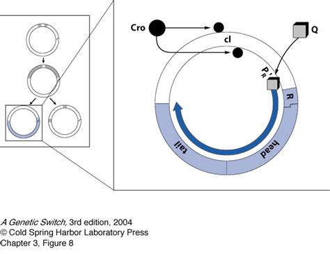 q protein bacteriophage lambda helicase jillian kyzer