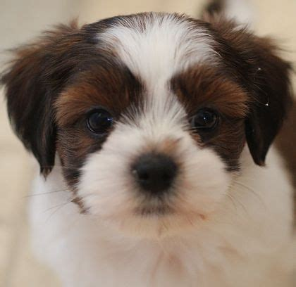 shih tzu breeders canada 8 best fuzzywuzzy teddy puppies updated photos 2 2 14 our current available