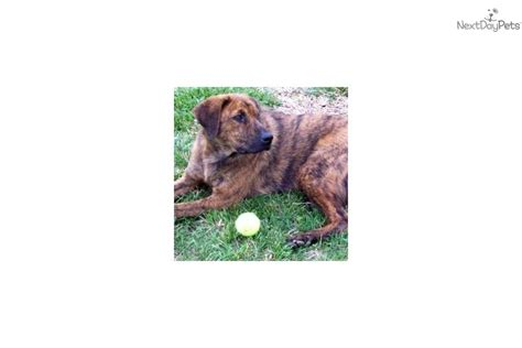 treeing tennessee brindle puppies for sale home breeds puppies for sale treeing tennessee brindle breeds picture