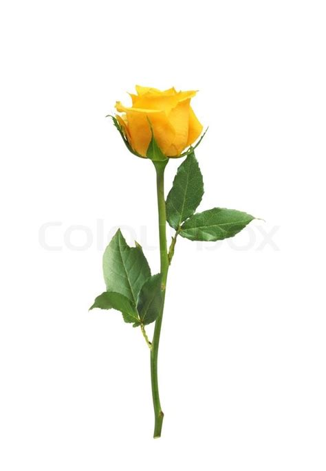 beautiful yellow rose isolated on white stock photo