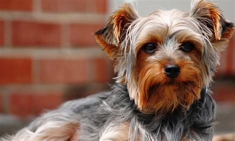yorkie liver shunt diet lethargy gi distress in a puppy clinician s brief