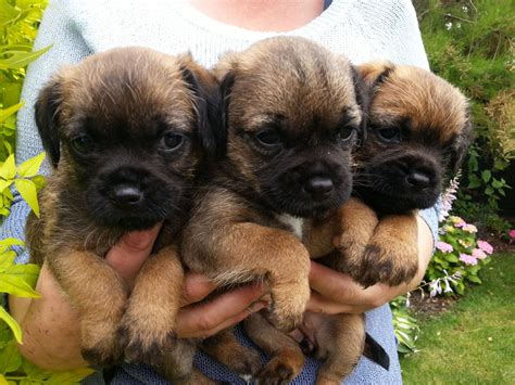 terrier puppy border terrier puppies sleaford lincolnshire pets4homes
