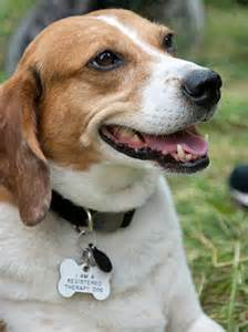 Get Your Dog Certified As A Therapy Dog by Lucy The Beagle Mix Dogs Daily Puppy