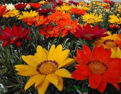 fiori stagionali piante e fiori serra fredda ideal verde