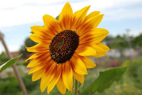 bid significato fiore di girasole significato dei fiori significato